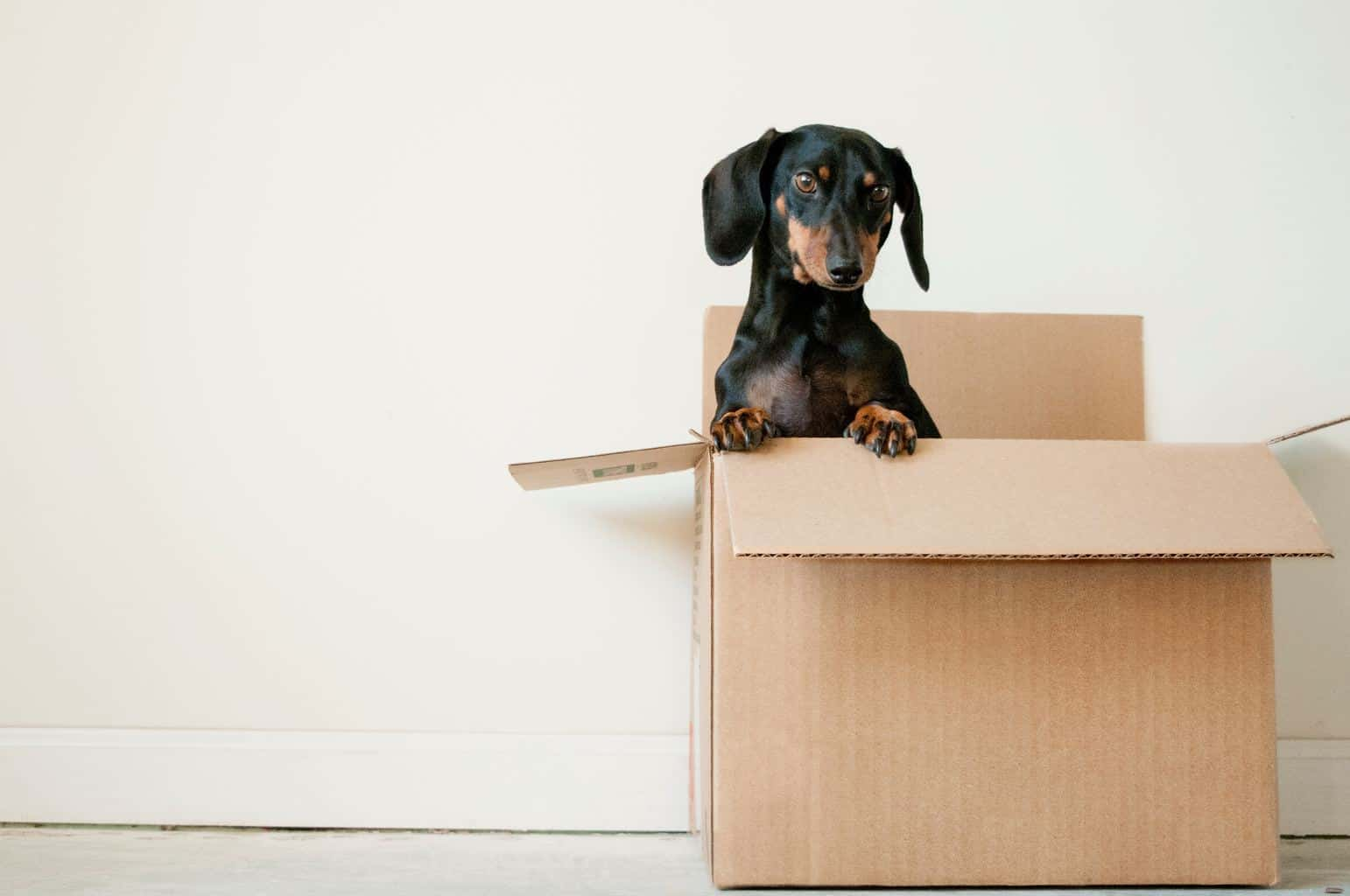 black and brown a dog standing in box