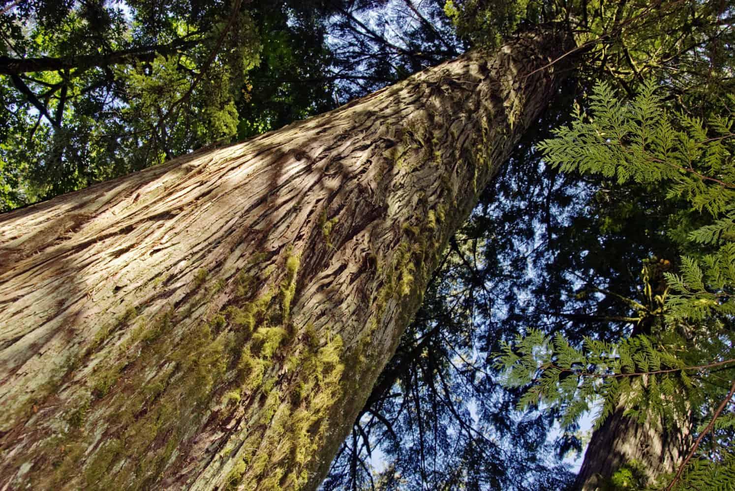 ceder wood