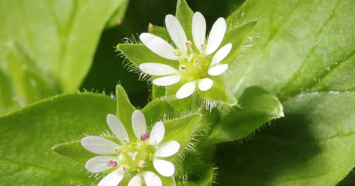 chickweed on lawn