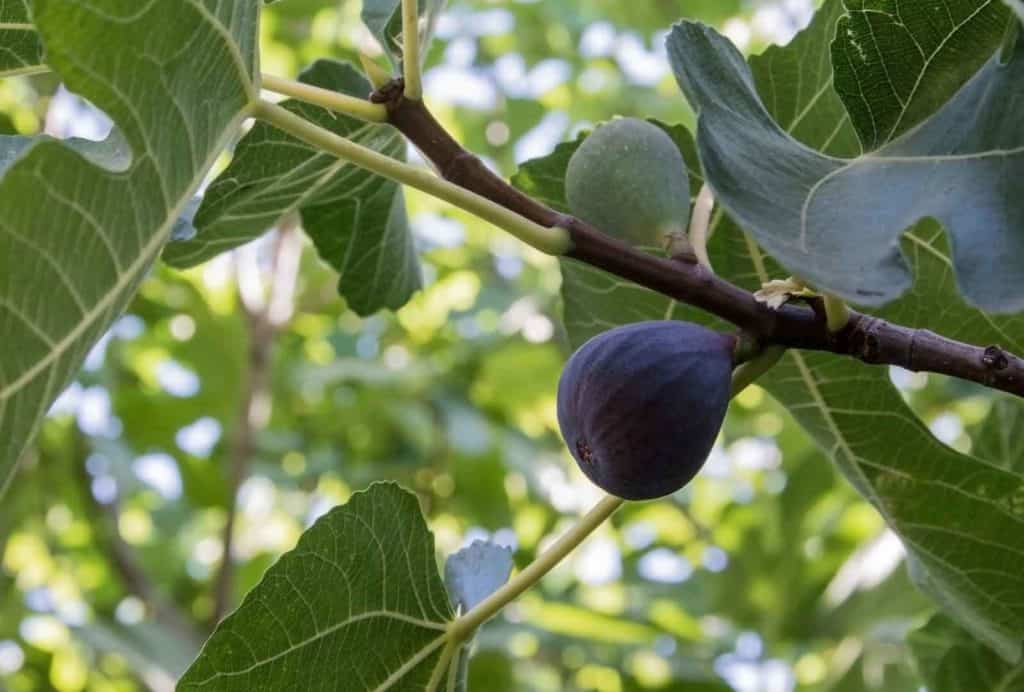 How to Prune a Fig Tree or Bush