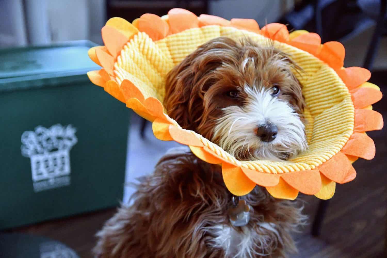 dog wearing a flower-shaped collar